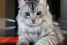 I Want A Cat / Siberian Tabby Grey, Rag Doll, Norwegian Forest Cat.  Listen I just want a grey kitty okay