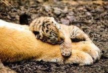 ναζιαρικο γατακι
