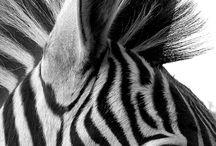HAYVANLAR / #animals #kanvas #table #dog #colors #zebra #sightly #cat #horse #fish  Daha fazlası için; www.neokanvas.com