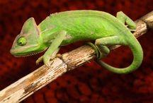 ANIMAL • Chameleon