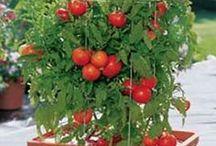 verduras em vasos. tomates