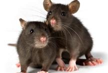 Love, love, love rats <:3)~~