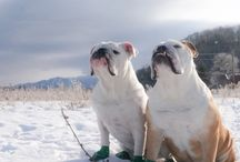 Englishbulldog / My lovely pets