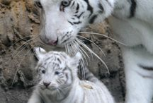 Tiger Obsession<3 / Tigers!! / by Taylor Hatch
