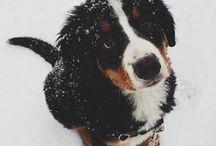 berni pásztorok / bernese mountain dogs