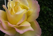 The Peace Rose.