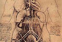 Anatomía humana: órganos internos / Anatomía humana: órganos internos