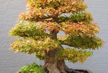 Trident maple