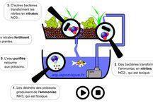 aquaponie / Comprendre l'aquaponie, les siphons, le cycle de l'azote, les systèmes nft, en raft, en lit de culture et plus sur notre site aquaponique.fr