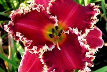 лилейник и лилии