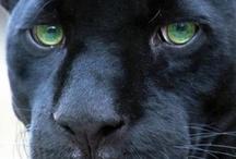 Big cats / Panther