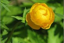 Plants [Trollius/Globeflower]