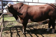 Braford cattle