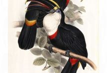 Family of Toucans from John Gould