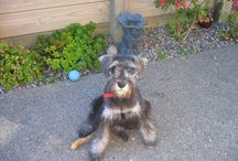 Cooper / We bought Cooper, a miniature Schnauzer, when he was six months old. Some for reason, best known to himself, Cooper refused to remain miniature, and grew Full size.