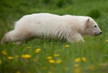 Siku the Little Ambassador / Follow Siku, the Danish polar bear cub, as he grows up. / by Polar Bears International