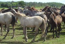 Le Baixadreiro / Ce cheval est le résultat de croisements avec des espèces provenant de la péninsule ibérique, probablement du Garrano et du Barbe.