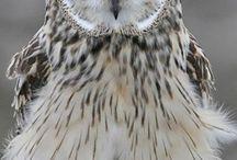 owl &