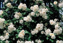 Les rosiers lianes