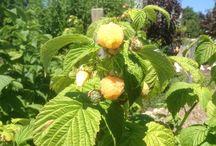 framboise fruit