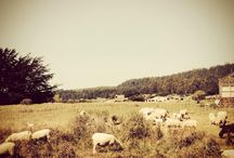 The Sea Ranch Sheep