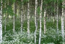 Birch green