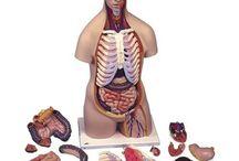 Cellen, weefsels en organen
