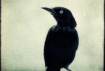 BIRDS: CROWS, RAVENS, BLACKBIRDS, MAGPIES / Corvid Corvax - I love to watch these guys! / by Jean Kurnik