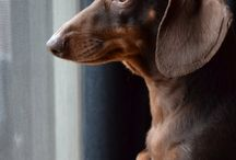 Dachshunds :) / My favorite.. :)