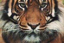 Wildcat/Vadmacska