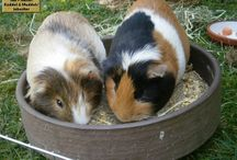 Meerschweinchen Kuddel & Muddel / Fun and every day stories taken from the real life of the guinea pigs BeelzePub, Puschel, Strubbel Muddel and Tüddel - the inheritor of the legendary piggies Kuddel and Muddel. #meerschweinchen #guineapigs #guineapig #guinea #pig #piggy #piggies #funny #memes #cavy #cavies #pets