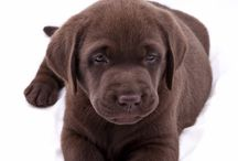 Chocolade labrador puppies