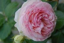 Les roses de Doué-la-Fontaine
