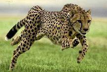 Gepard/Cheetah