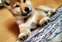 Shiba Inu... and other cute creatures ;)