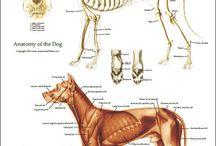 dog/wolf anatomy/study
