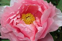 Peonies! / A must have in your garden landscape! Every flowerbed in your yard needs at least one! A great backbone for design. Plant one of these BEAUTIES and they will live for years! / by Elaine