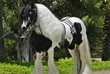Harper's Fiesta Farms Gypsy Horses / www.harpersfiestafarms.com