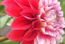 !!! ΛΟΥΛΟΥΔΙΑ ΤΟΥ ΚΗΠΟΥ ΜΟΥ !!! / Τα λουλούδια του κήπου μου !!!