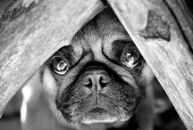 Pugs / by Amy Smith