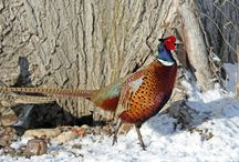 "Common Pheasant / It is native to Asia and has been widely introduced elsewhere as a game bird. In parts of its range, namely in places where none of its relatives occur such as in Europe (where it is naturalized), it is simply known as the ""pheasant"". Ring-necked pheasant is both the name used for the species as a whole in North America and also the collective name for a number of subspecies and their intergrades that have white neck rings."