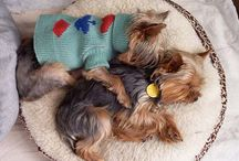 Puppy Yorkshire terrie