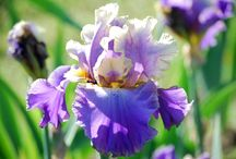 Iris / by Cheryl Morgan