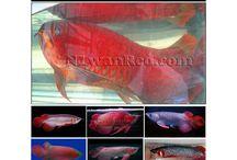N1wanRed Arowana / Arowana, Arwana , Dragon Fish, Monster fish