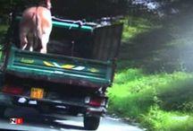 Asinello sul furgone