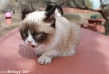 Grumpy Cat / by Angela Fagerstrom