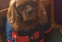 Cavalier King Charles Spaniel Gifts / I love dearly my Cavalier King Charles Spaniel Rudi who I adopted when his real human mother died suddenly