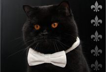Cats / Britisch Kurzhaar Katzen