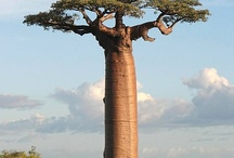 Baobabí