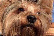 Yorkie love / My dog